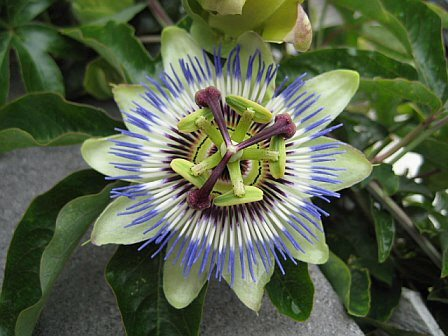 Do you believe the Holy Bible ? - Page 4 Geometry%20passionflower